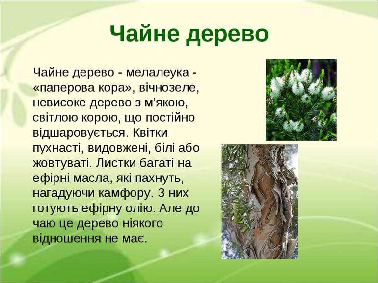 Чайне дерево Чайне дерево - мелалеука- «паперова кора», вічнозеле, невисоке ...