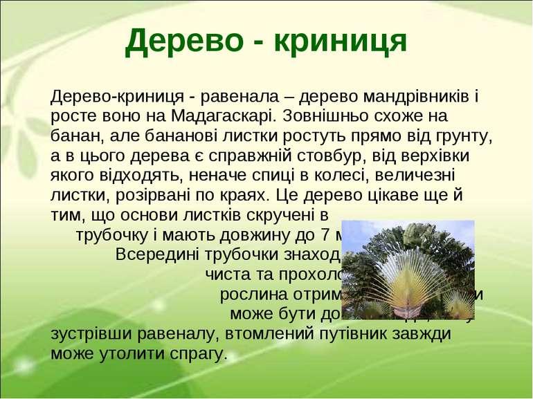 Дерево-криниця - равенала – дерево мандрівників і росте воно на Мадагаскарі. ...