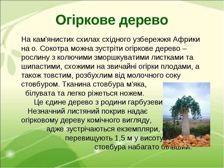 Огіркове дерево На кам'янистих схилах східного узбережжя Африки на о. Сокотра...
