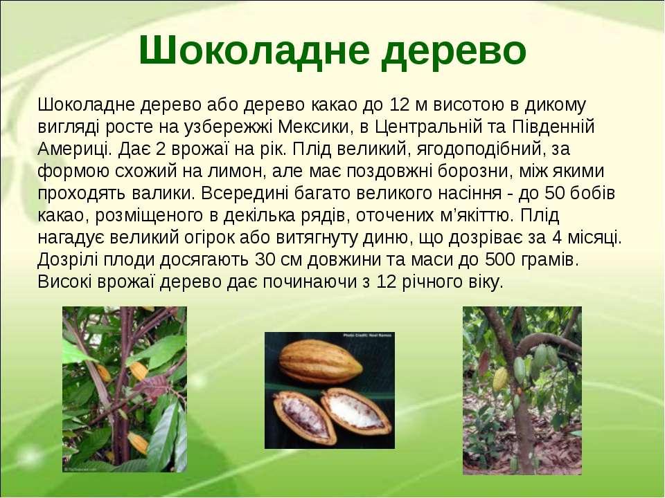 Шоколадне дерево або дерево какао до 12 м висотою в дикому вигляді росте на у...