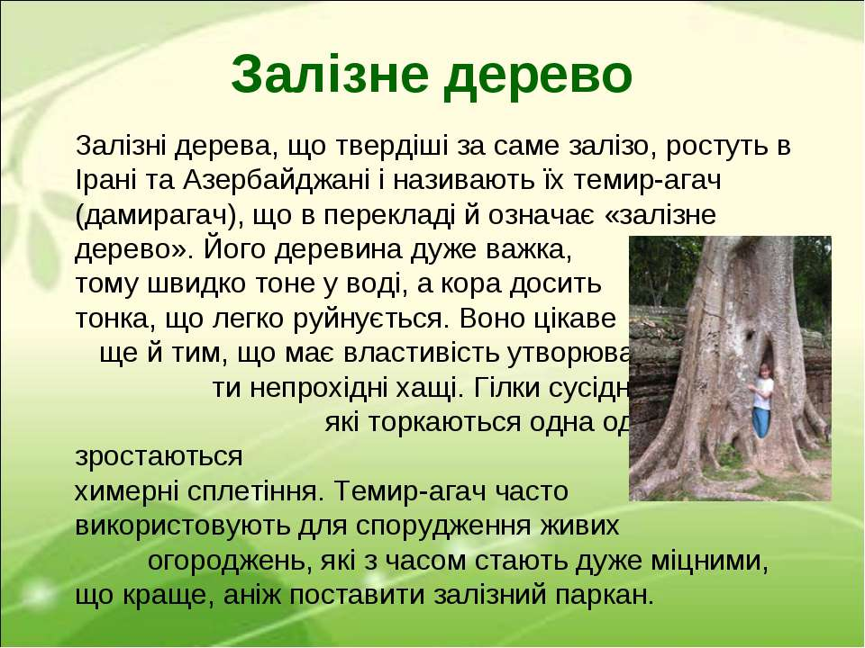 Залізні дерева, що твердіші за саме залізо, ростуть в Ірані та Азербайджані і...