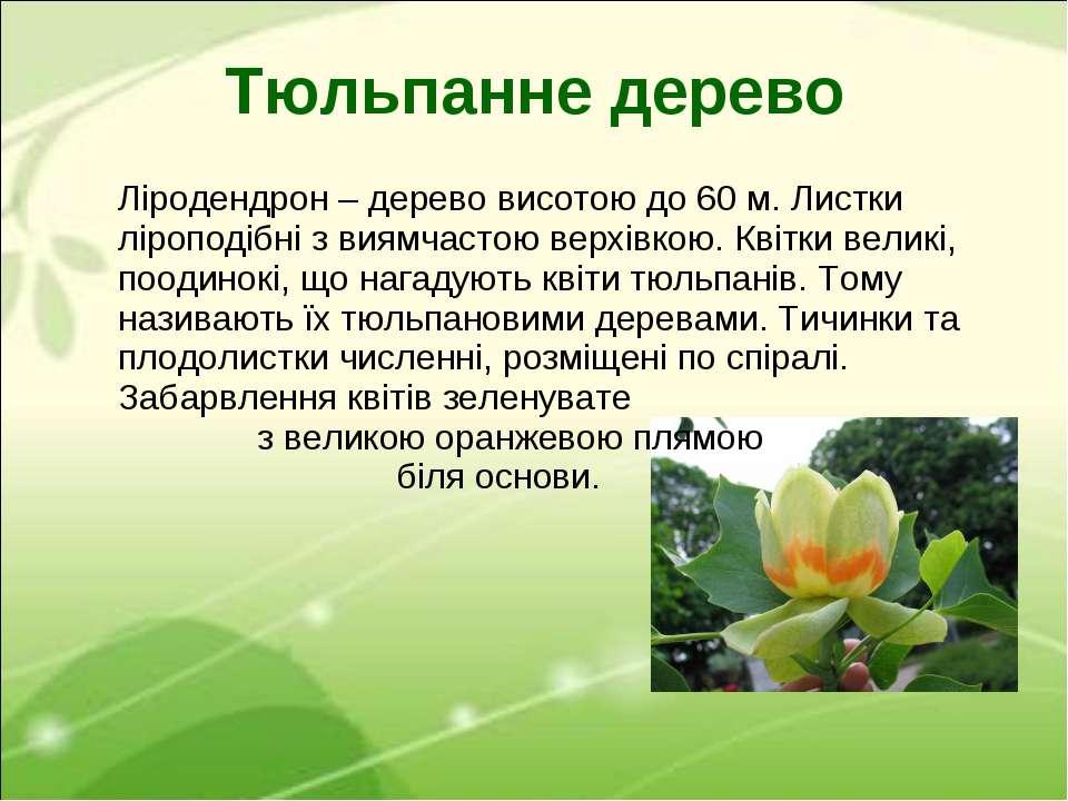 Тюльпанне дерево Ліродендрон – дерево висотою до 60 м. Листки ліроподібні з в...