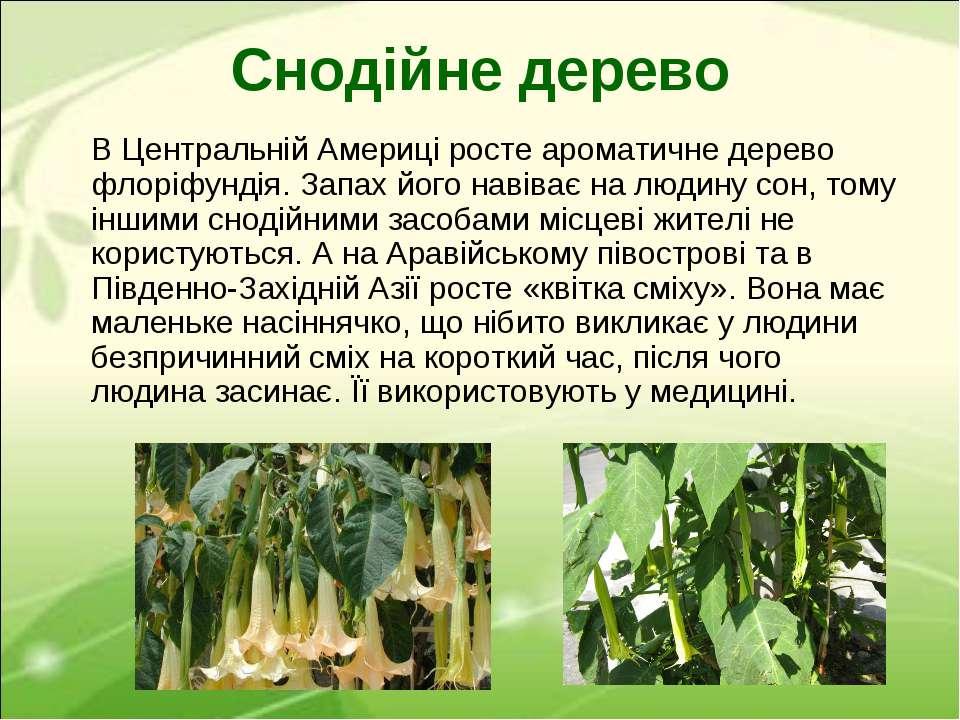 Снодійне дерево В Центральній Америці росте ароматичне дерево флоріфундія. За...