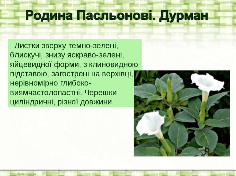 Листки зверху темно-зелені, блискучі, знизу яскраво-зелені, яйцевидної форми,...