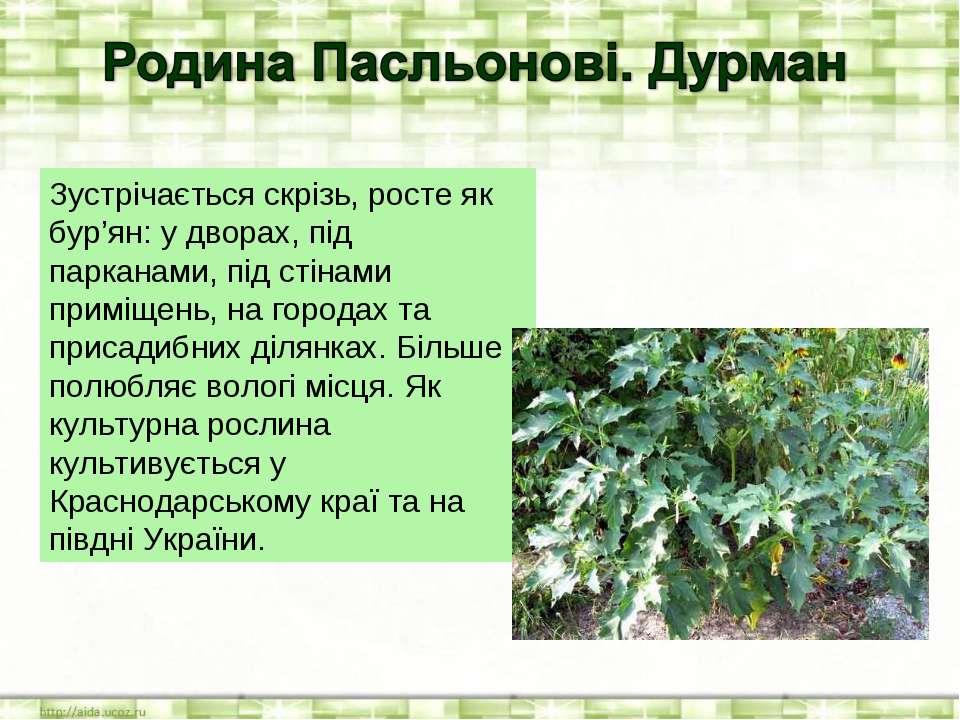 Зустрічається скрізь, росте як бур'ян: у дворах, під парканами, під стінами п...