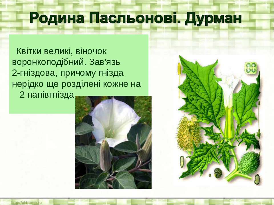 Квітки великі, віночок воронкоподібний. Зав'язь 2‑гніздова, причому гнізда не...