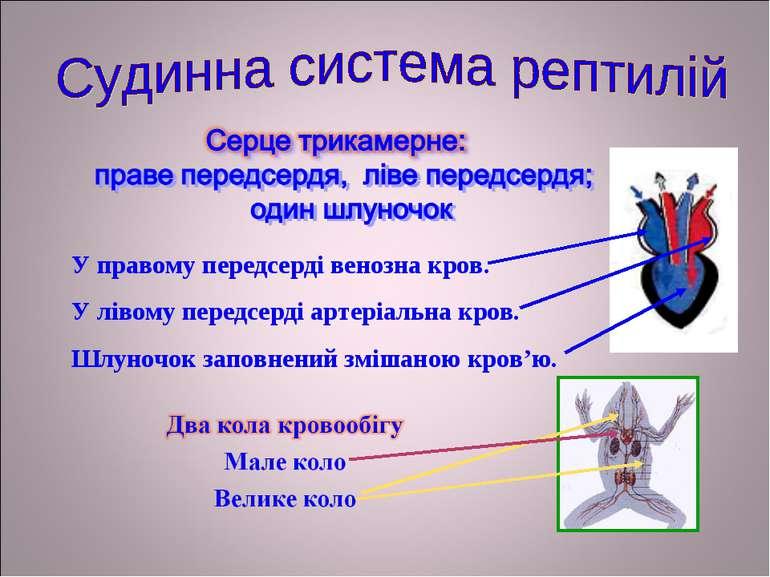 У правому передсерді венозна кров. У лівому передсерді артеріальна кров. Шлун...