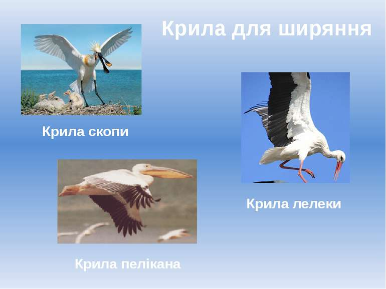 Крила для ширяння Крила лелеки Крила пелікана Крила скопи