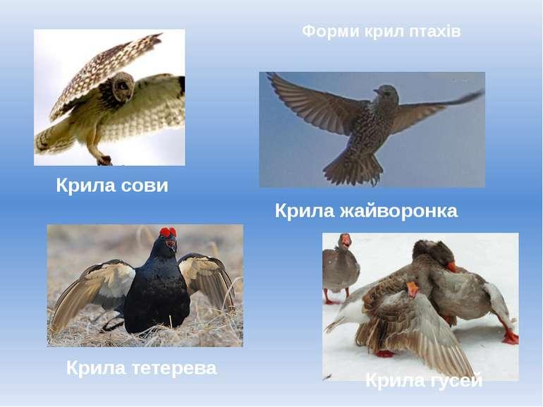 Форми крил птахів Крила гусей Крила тетерева Крила сови Крила жайворонка