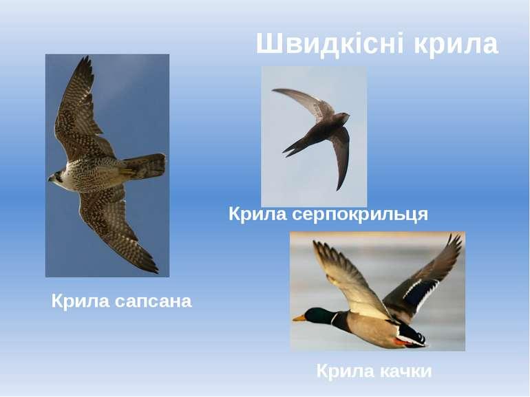 Швидкісні крила Крила качки Крила сапсана Крила серпокрильця