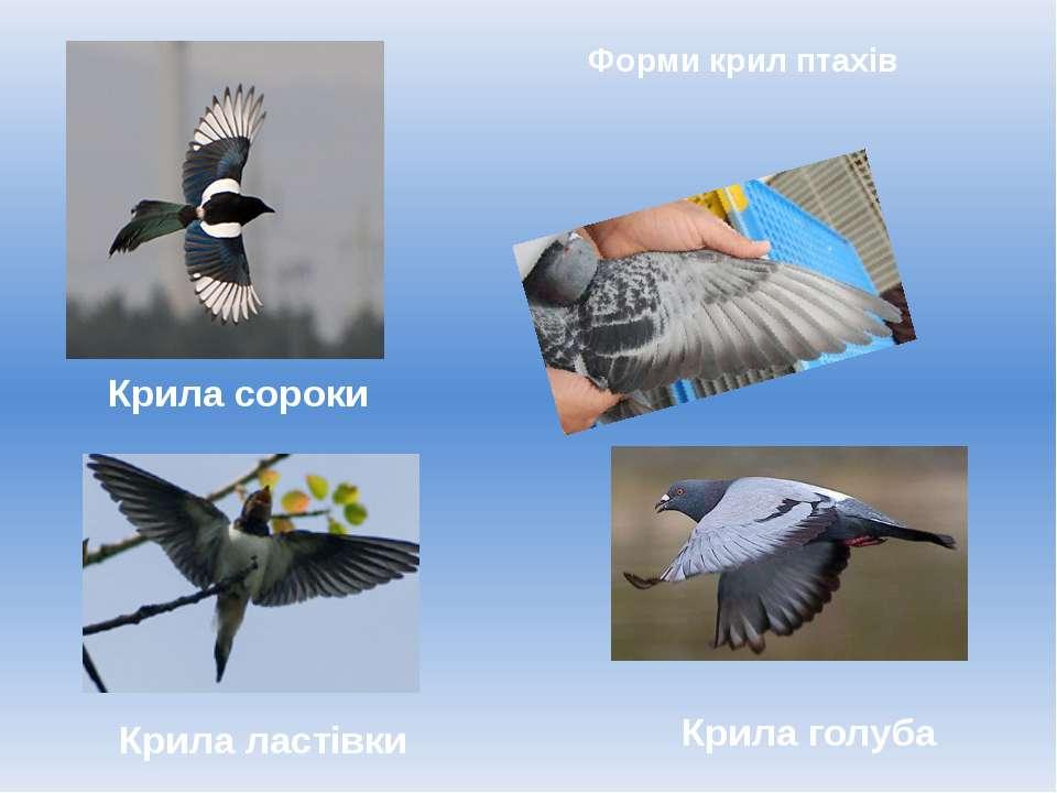 Форми крил птахів Крила голуба Крила сороки Крила ластівки