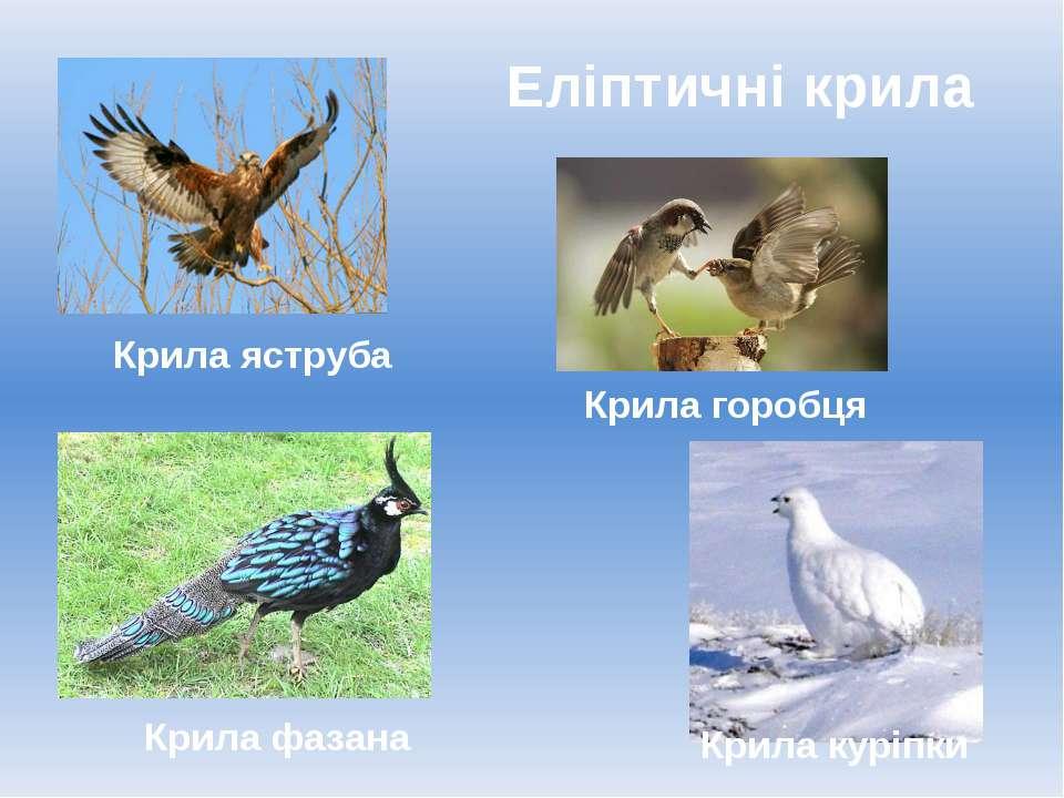 Еліптичні крила Крила куріпки Крила фазана Крила яструба Крила горобця