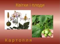 Квітки і плоди К а р т о п л я