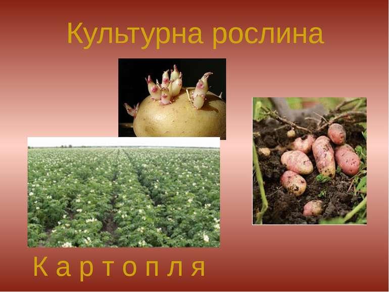 Культурна рослина К а р т о п л я