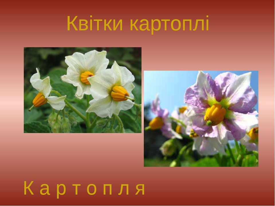 Квітки картоплі К а р т о п л я