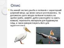 На нижній частині дзьоба в пеліканів є характерний шкіряний міхур, що може си...