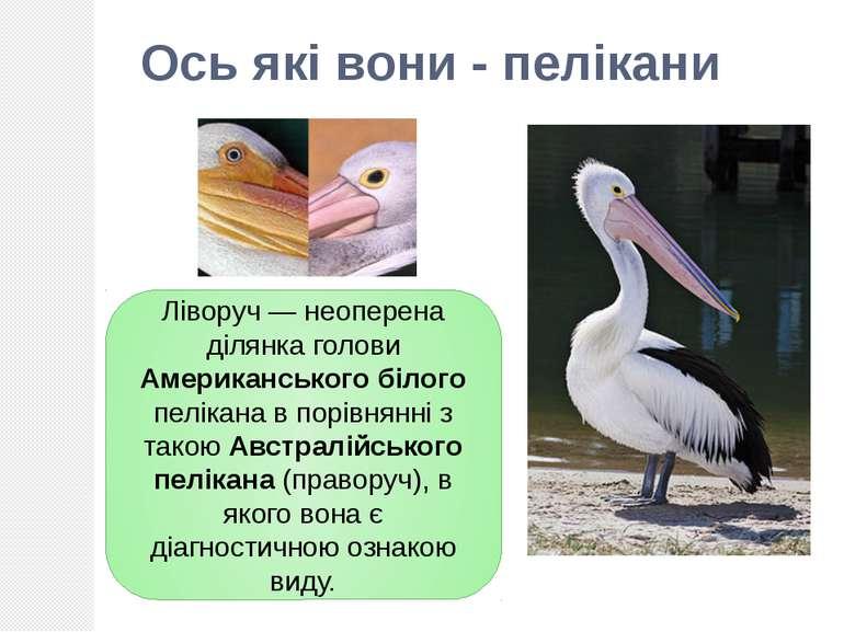 Ліворуч — неоперена ділянка голови Американського білого пелікана в порівнянн...