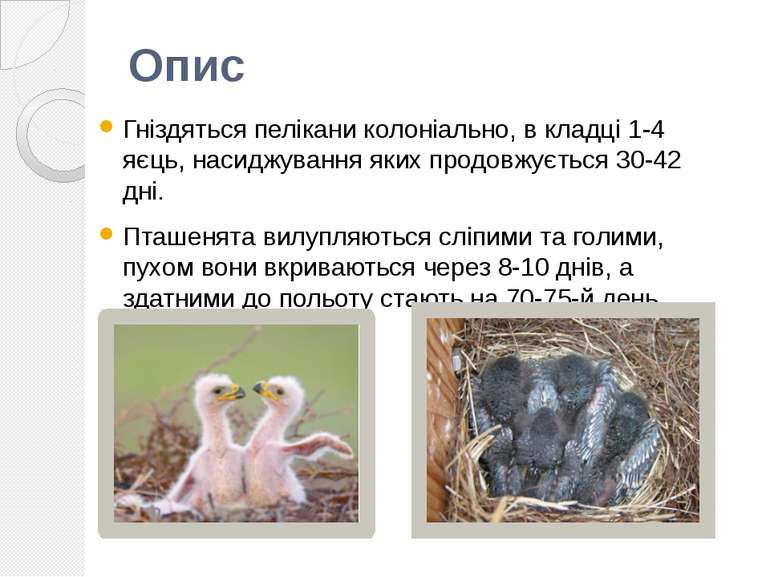 Гніздяться пелікани колоніально, в кладці 1-4 яєць, насиджування яких продовж...
