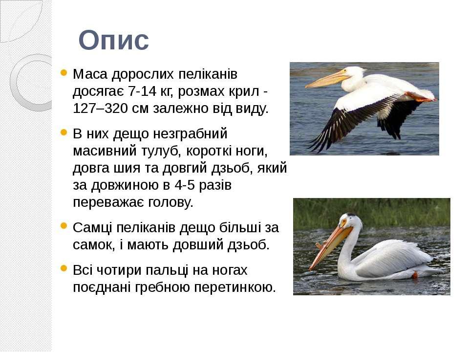 Опис Маса дорослих пеліканів досягає 7-14 кг, розмах крил - 127–320 см залежн...