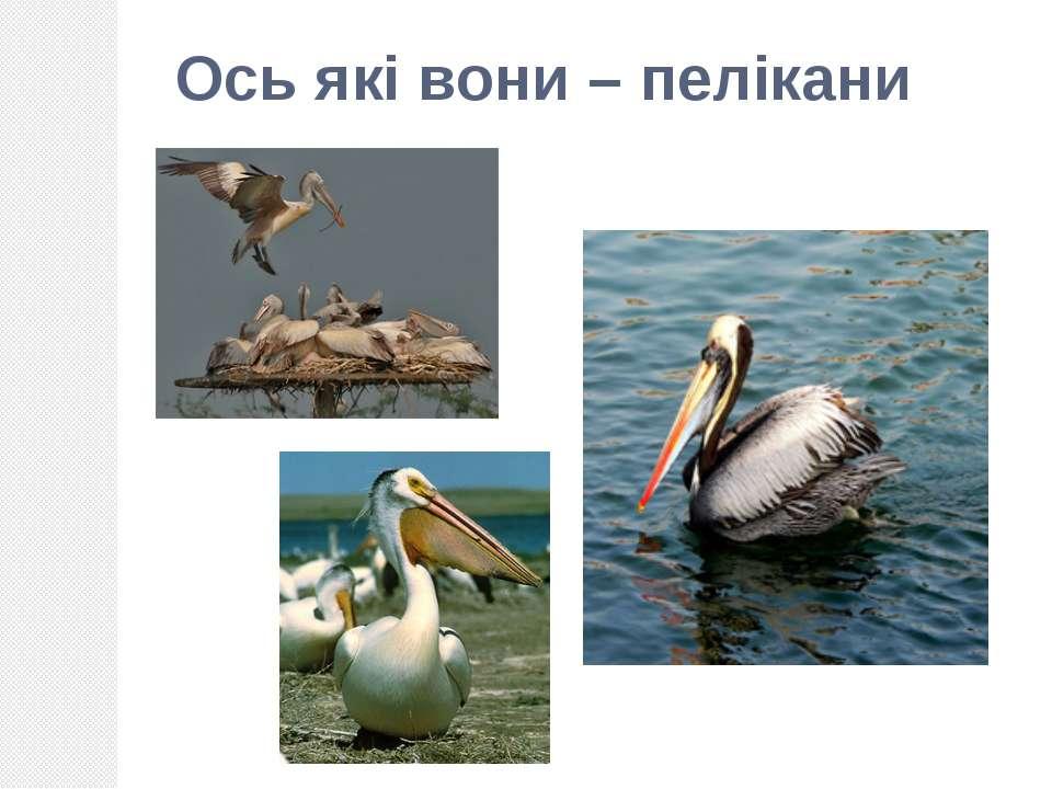 Ось які вони – пелікани