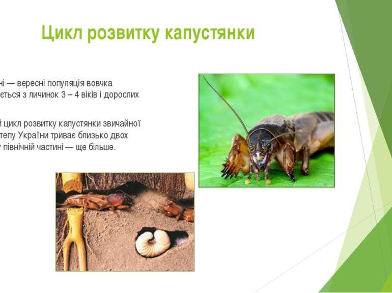 У серпні — вересні популяція вовчка складається з личинок 3 – 4 віків і дорос...