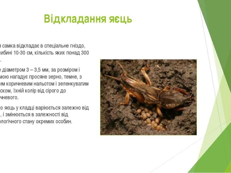 Яйця самка відкладає в спеціальне гніздо, на глибині 10-30 см, кількість яких...