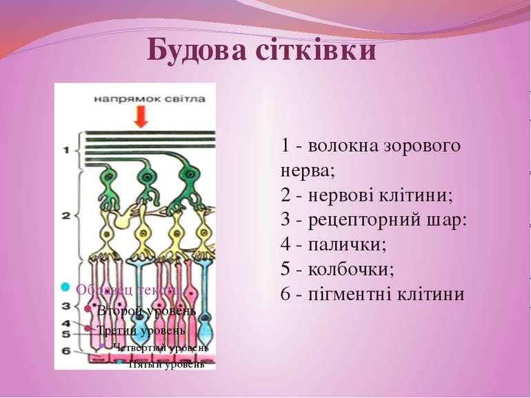 1 - волокна зорового нерва; 1 - волокна зорового нерва; 2 - нервові клітини; ...