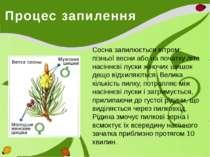 Процес запилення Сосна запилюється вітром: пізньої весни або на початку літа ...