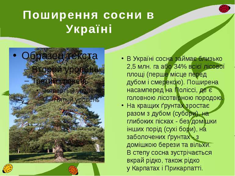 Поширення сосни в Україні В Україні сосна займає близько 2,5млн.гаабо 34% ...