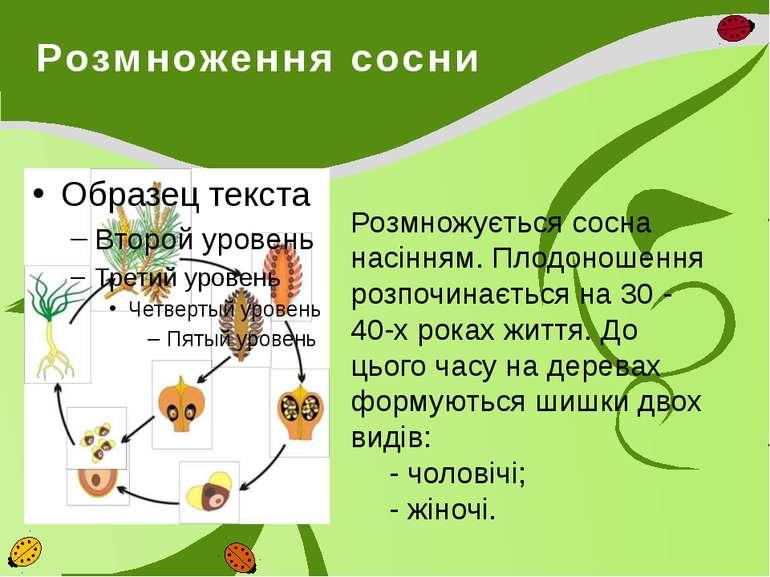 Розмноження сосни Розмножується сосна насінням. Плодоношення розпочинається н...