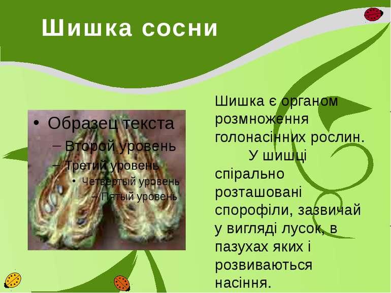 Шишка сосни Шишка є органом розмноження голонасінних рослин. У шишці спіральн...