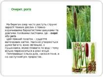 На берегах озер часто ростуть стрункі зарості тонких рослин з темно-коричневи...