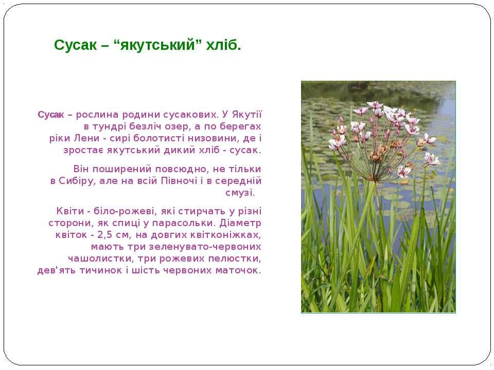 Сусак – рослина родини сусакових. У Якутії в тундрі безліч озер, а по берегах...