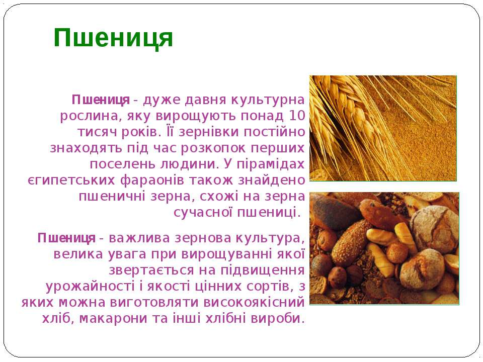 Пшениця - дуже давня культурна рослина, яку вирощують понад 10 тисяч років. Ї...