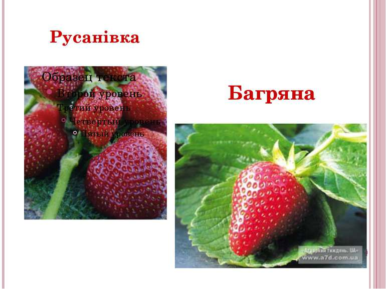 Русанівка Багряна