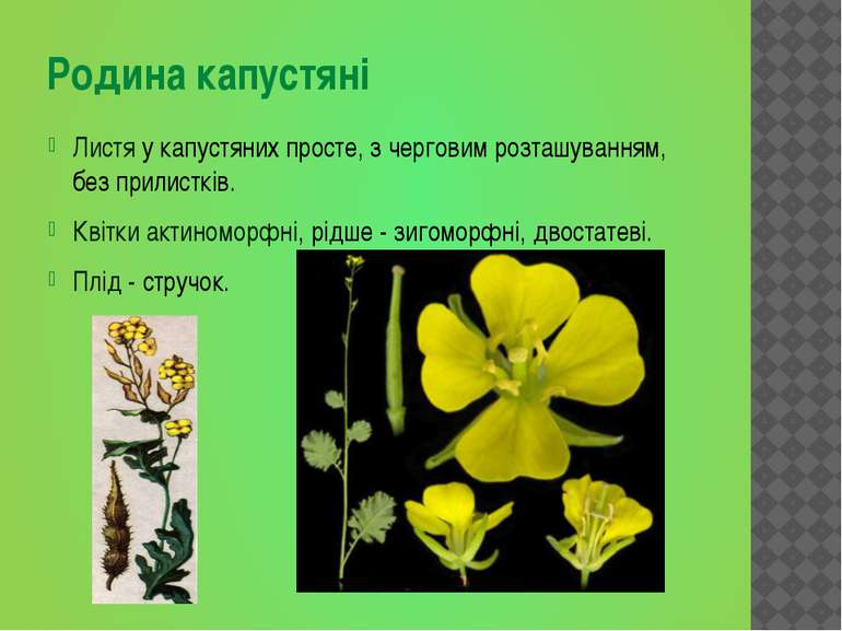 Листя у капустяних просте, з черговим розташуванням, без прилистків. Квітки а...