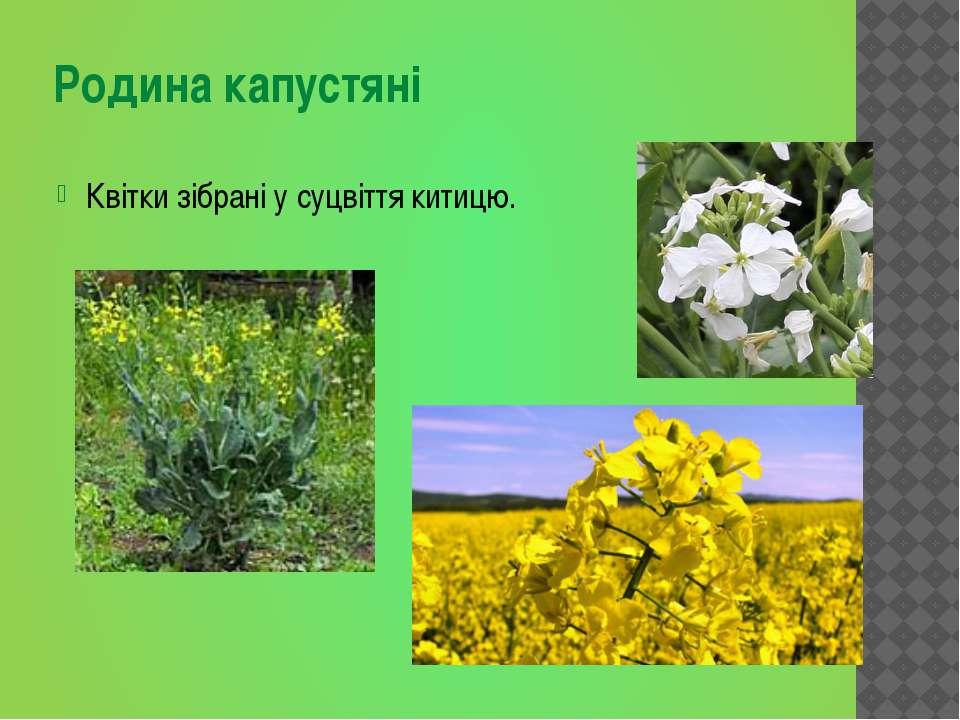 Квітки зібрані у суцвіття китицю. Родина капустяні