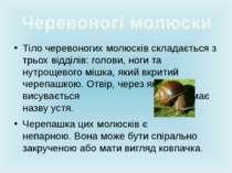 Тіло черевоногих молюсків складається з трьох відділів: голови, ноги та нутро...
