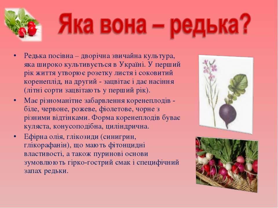 Редька посівна – дворічна звичайна культура, яка широко культивується в Украї...