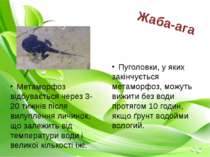 Пуголовки, у яких закінчується метаморфоз, можуть вижити без води протягом 10...