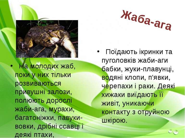 На молодих жаб, поки у них тільки розвиваються привушні залози, полюють дорос...