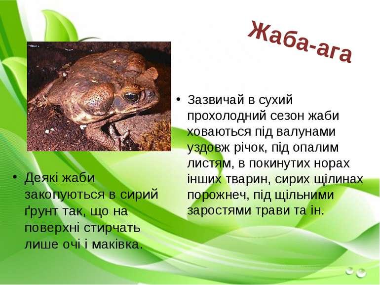 Зазвичай в сухий прохолодний сезон жаби ховаються під валунами уздовж річок, ...