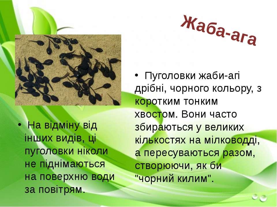 Пуголовки жаби-агі дрібні, чорного кольору, з коротким тонким хвостом. Вони ч...
