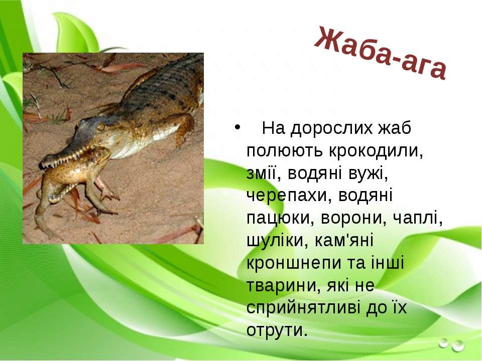 На дорослих жаб полюють крокодили, змії, водяні вужі, черепахи, водяні пацюки...