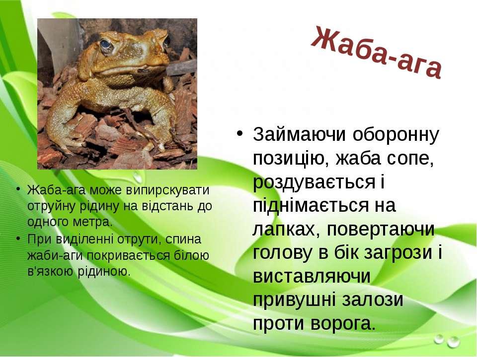 Займаючи оборонну позицію, жаба сопе, роздувається і піднімається на лапках, ...