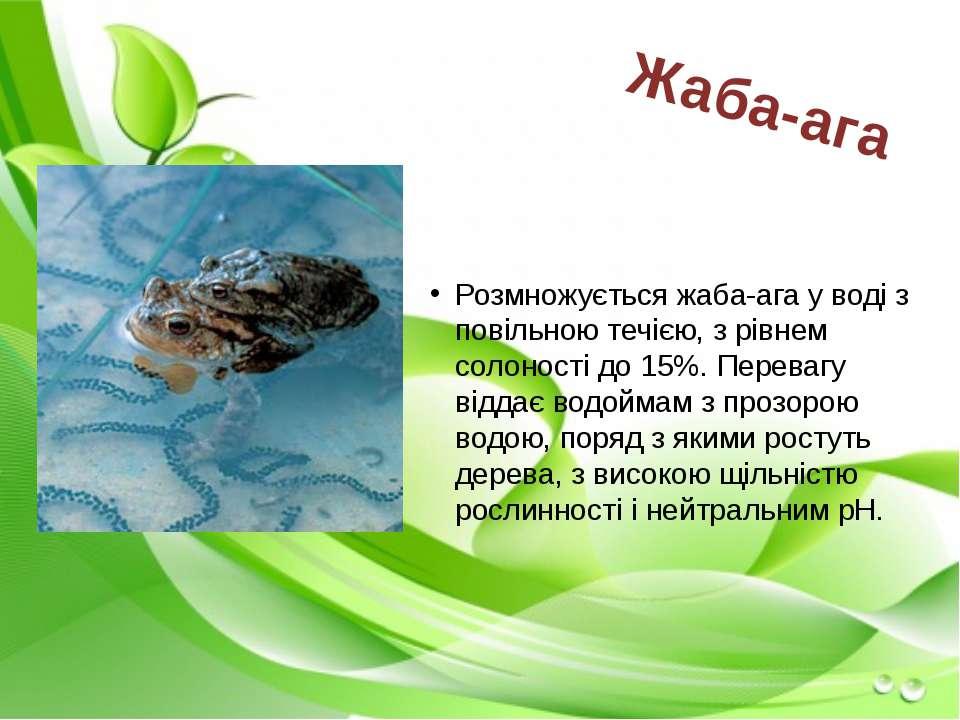 Розмножується жаба-ага у воді з повільною течією, з рівнем солоності до 15%. ...