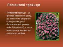Поліантові троянди – це троянди невисокого росту, що з'явилися в результаті с...