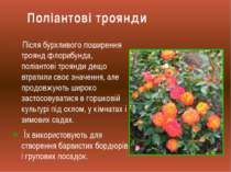 Після бурхливого поширення троянд флорибунда, поліантові троянди дещо втратил...