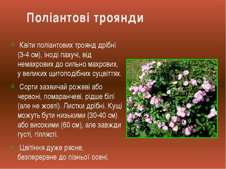 Квіти поліантових троянд дрібні (3-4 см), іноді пахучі, від немахрових до сил...