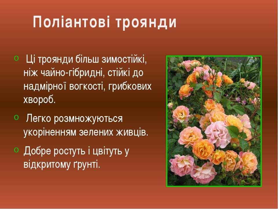 Ці троянди більш зимостійкі, ніж чайно-гібридні, стійкі до надмірної вогкості...